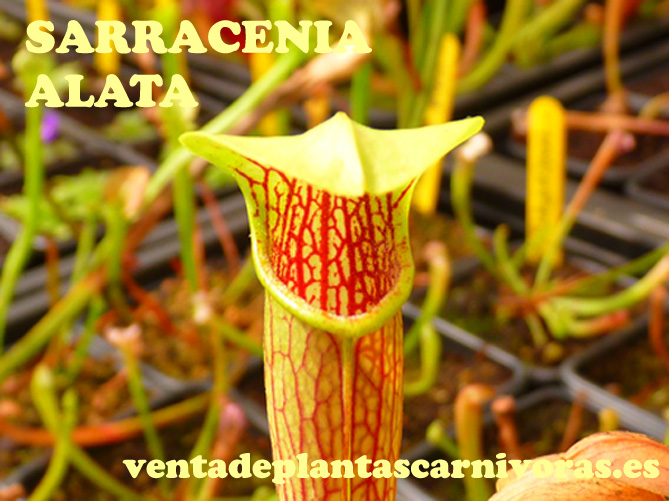 Sarracenia alata 'Alabama' planta adulta (10-20 cm)