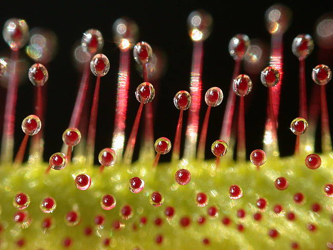 Drosera mix 30+ semillas