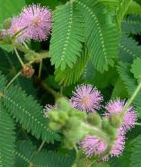 Mimosa pudica 50 seeds