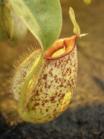Nepenthes x hookeriana medium plant