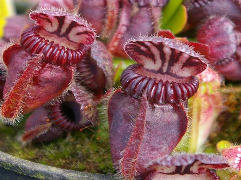 Cephalotus follicularis adult plant