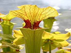 Sarracenia x moorei 'Brook's Hybrid' OP 15 seeds