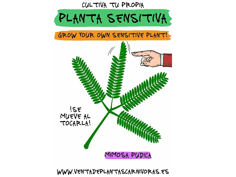 Kit semillas Mimosa (planta sensitiva)