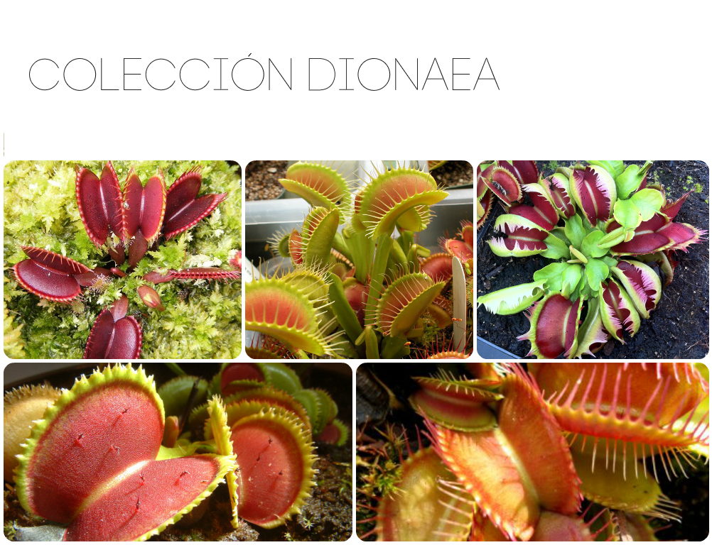 Dionaea cultivar collection