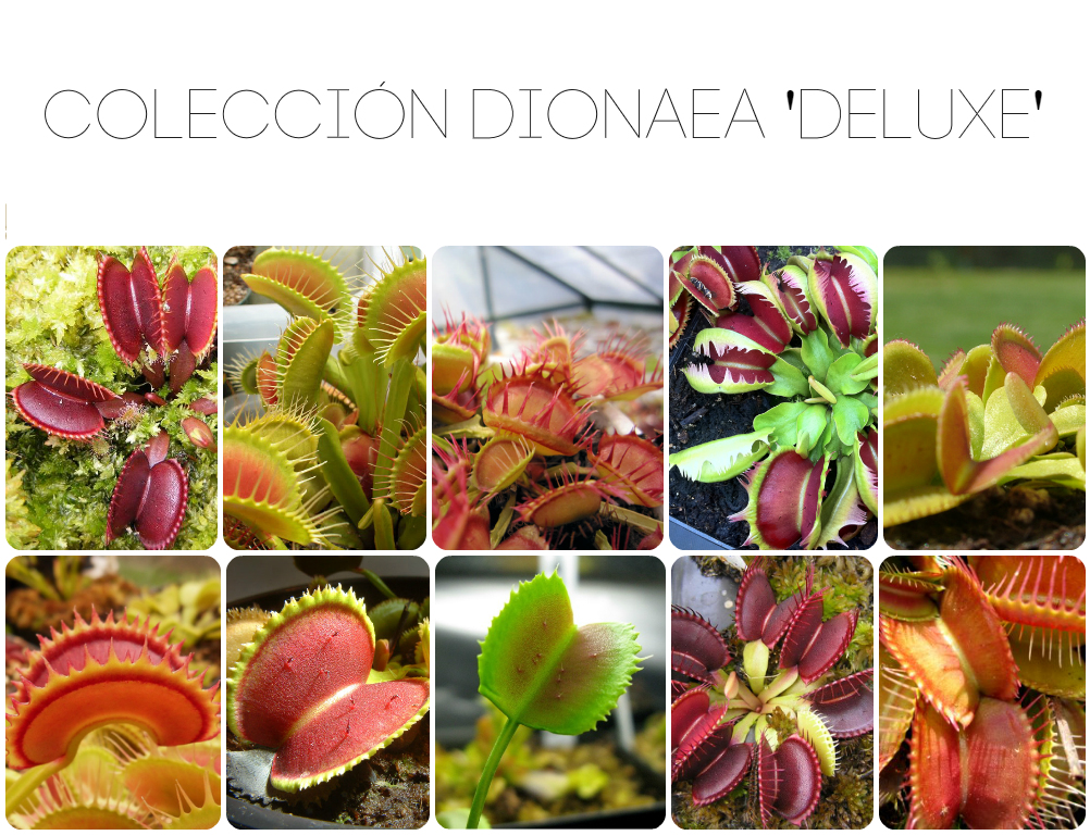 Dionaea cultivar megacollection