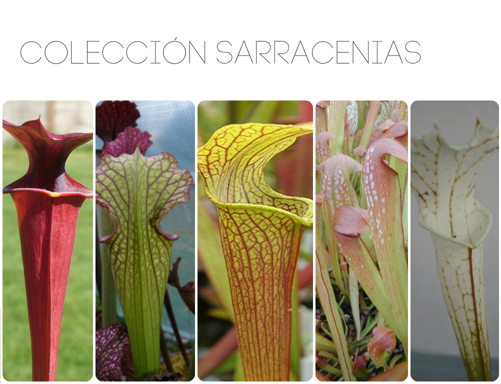 Sarracenia collection