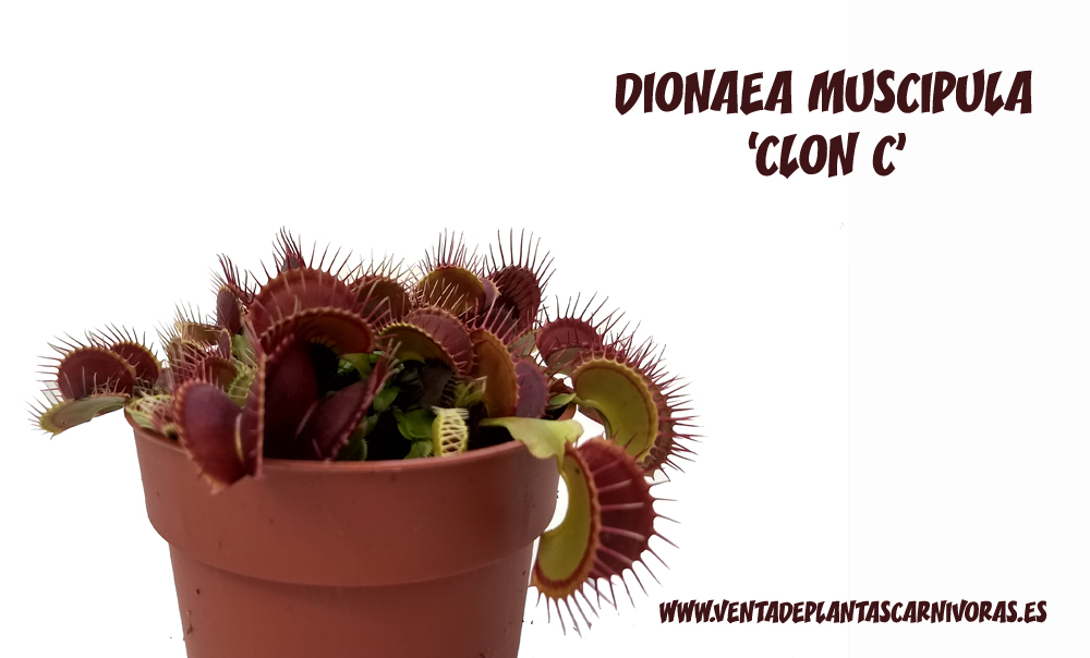 5x Dionaea muscipula 'typical' Clon C plant
