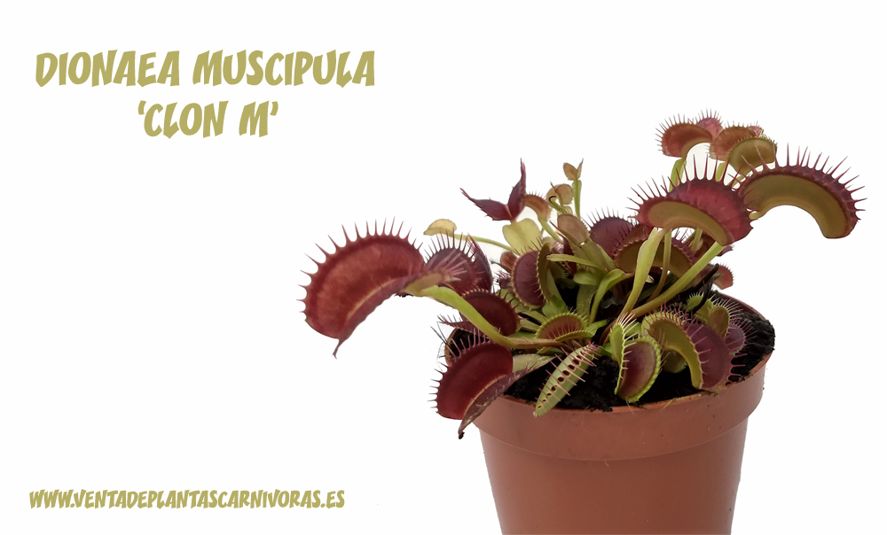 5x Dionaea muscipula 'typical' Clon M plant