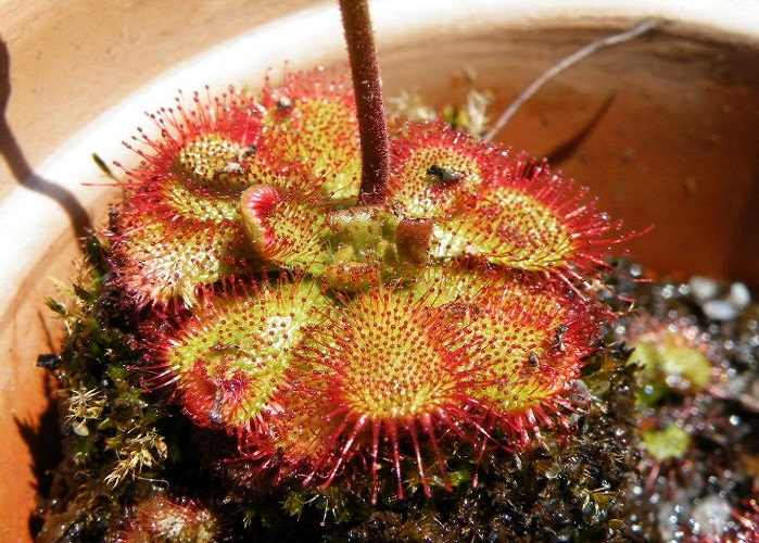 Drosera spec. South africa 15 semillas
