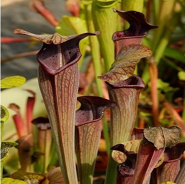 Sarracenia alata var nigropurpurea small/medium plant