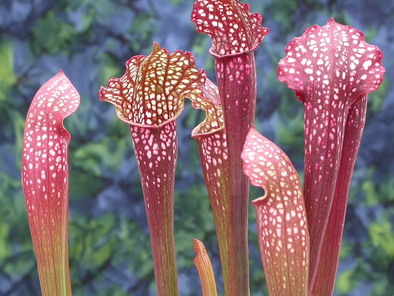 Sarracenia x 'Ladies in waiting' OP 15 seeds