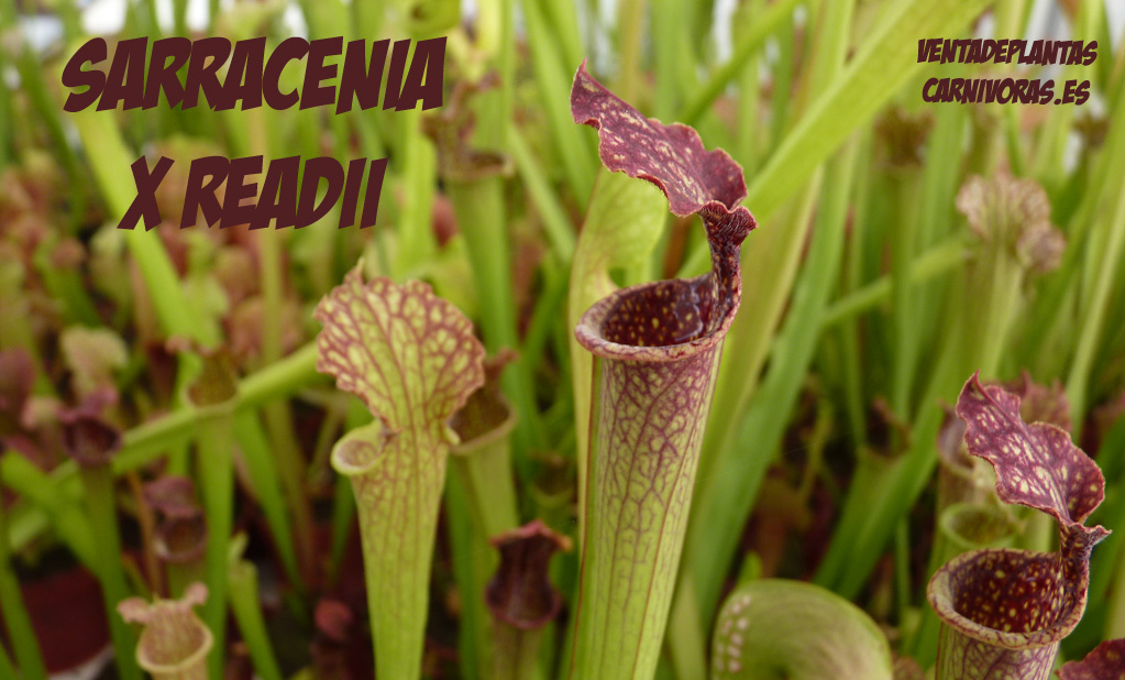 Sarracenia x readii 15 semillas
