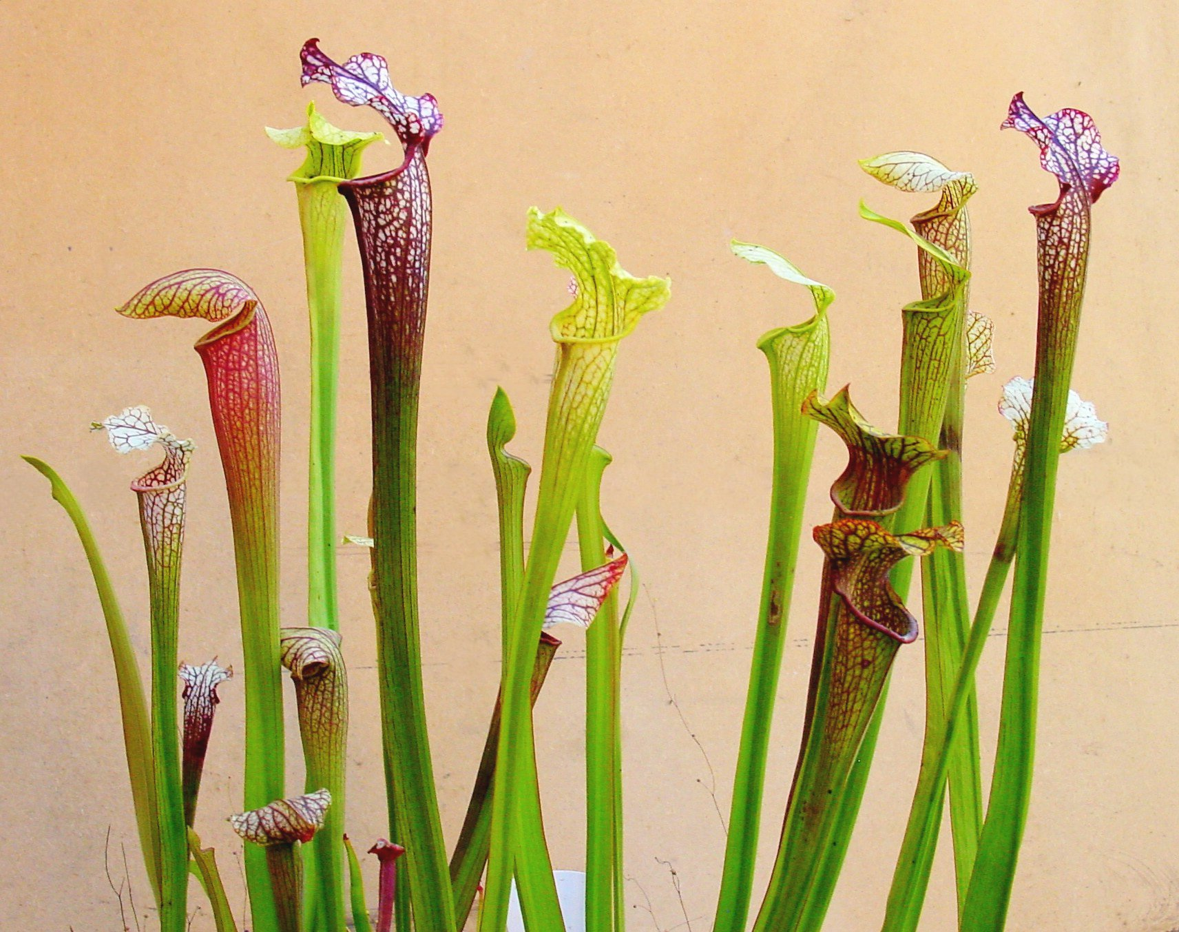 OFFER 3 Sarracenia XL