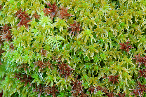 Living mixed sphagnum moss